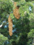 Giant swarm, side by side