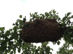 This is the first swarm, and it was the one we had a group effort to capture. It stayed for one night in the new hive, and was gone the next day. Grady estimated about 5,000 bees.