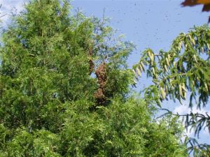 An enormous swarm from Betty's hive, high in the tree's at Barb's.